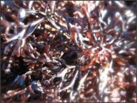 Alga fresca 'Carrapicho de Mar'