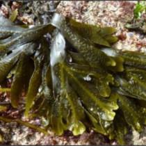 Alga fresca 'Patata de mar'