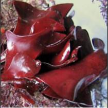 Alga fresca 'Suculenta de Mar'