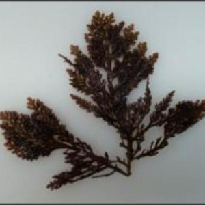 Alga fresca 'Trufa de Mar'