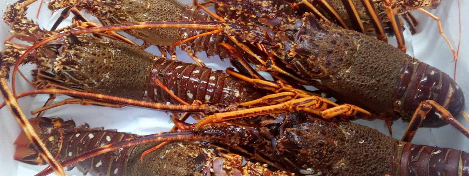 Langosta de Costa da Morte de Fresco y del Mar